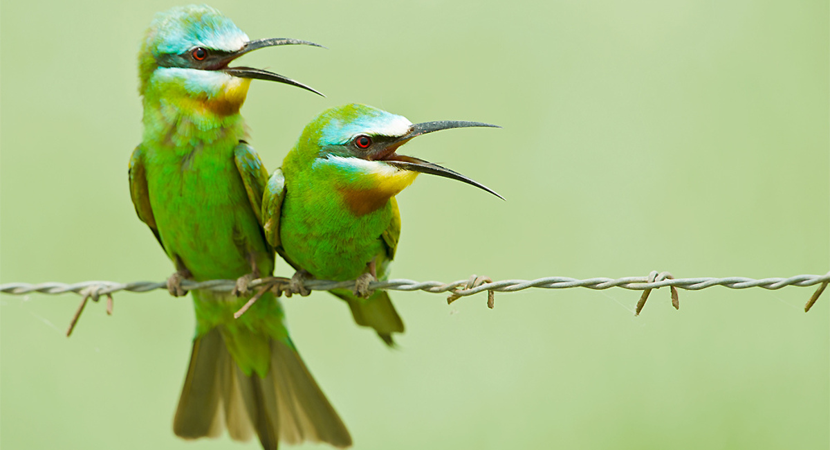 A pair of bee-eaters