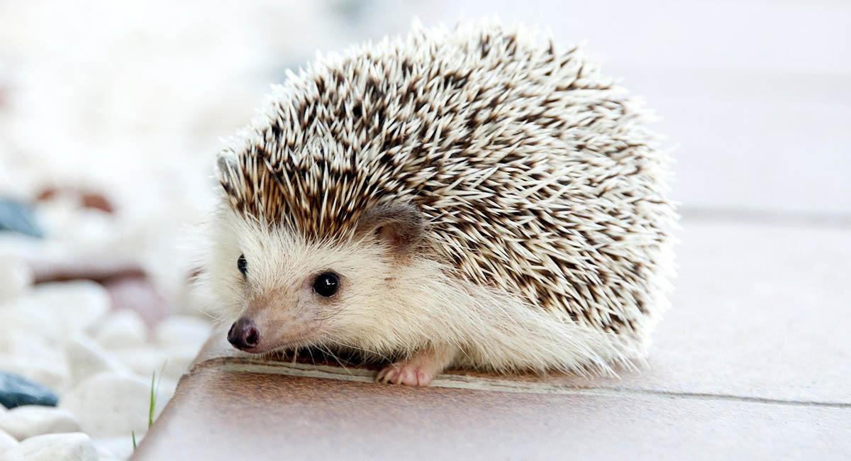 Small white hedgehog