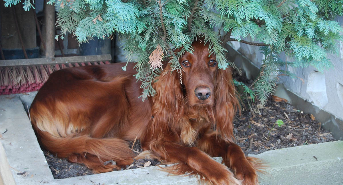 Irish setter dog lying under a juniper bush