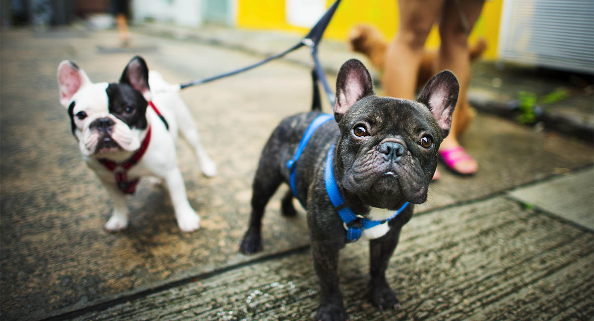 Two French bulldogs walking on a leash