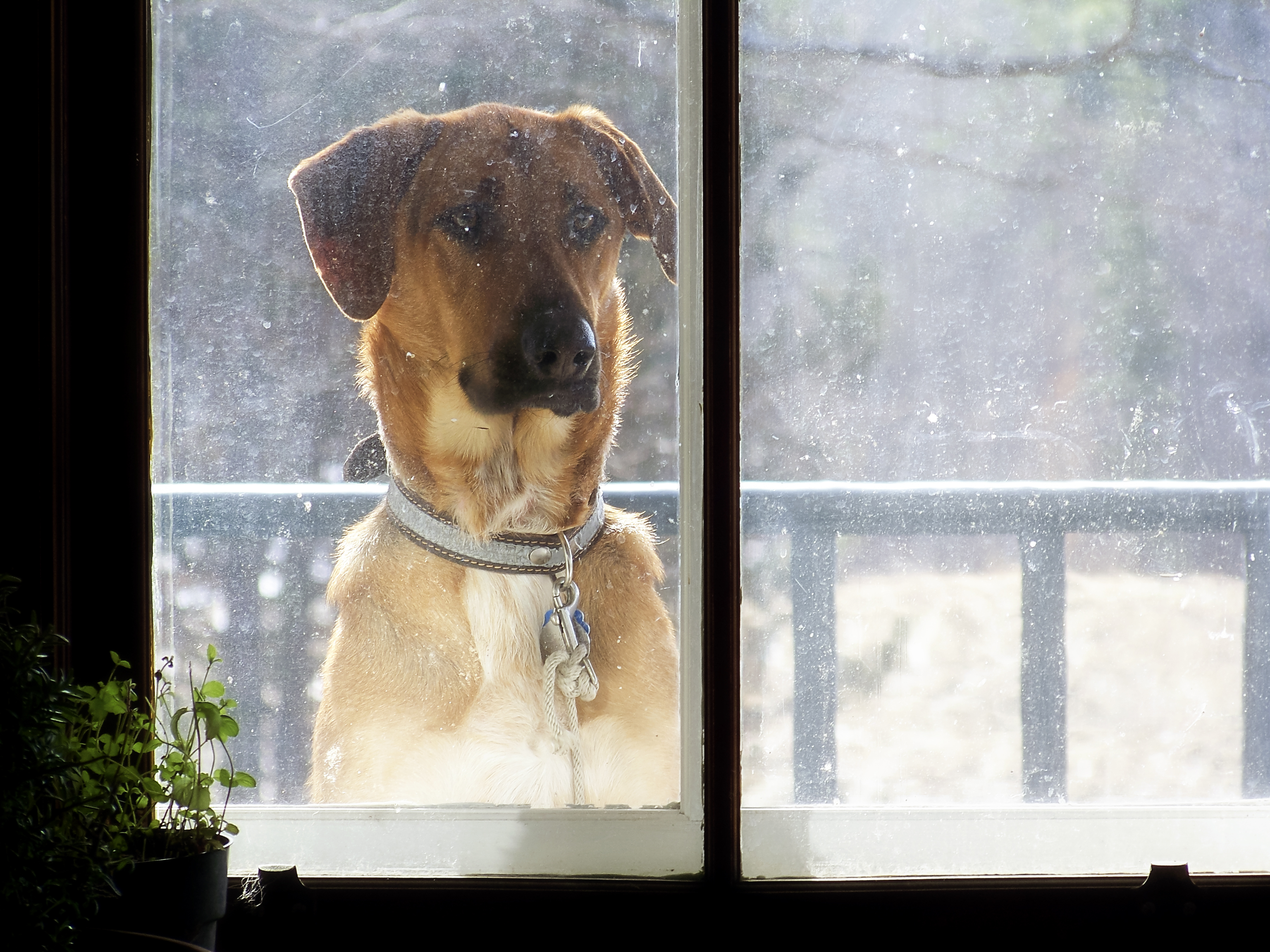 A dog looking in a window.