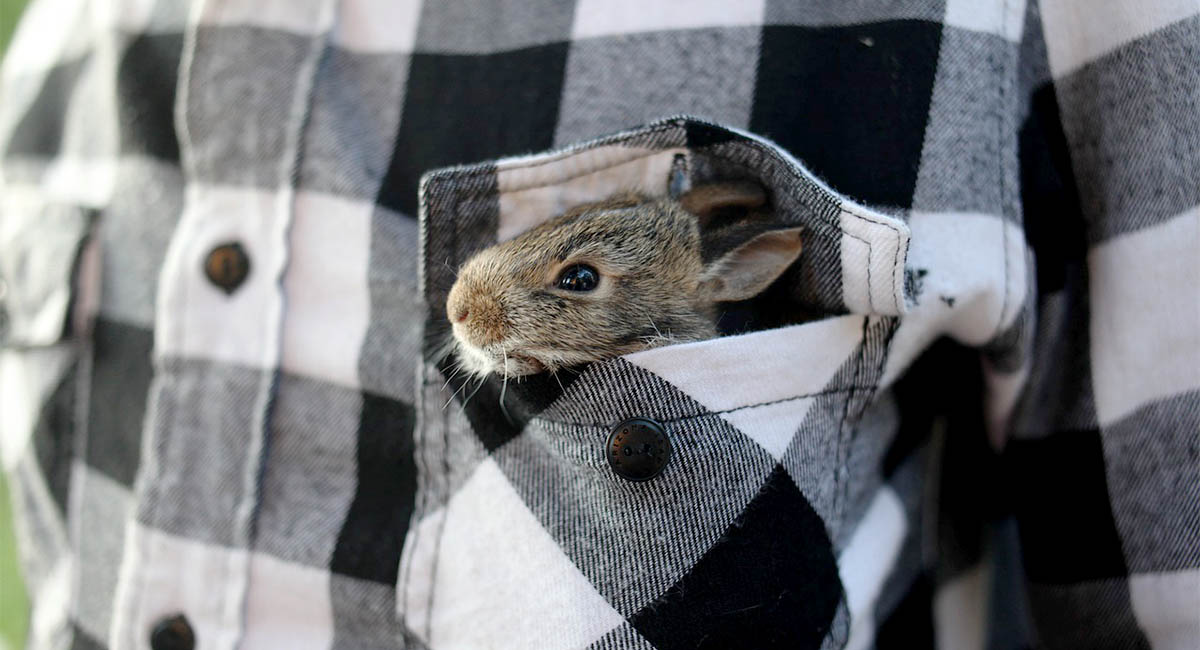 Small bunny in pocket of flannel shirt