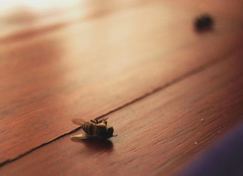 Dead bee on table