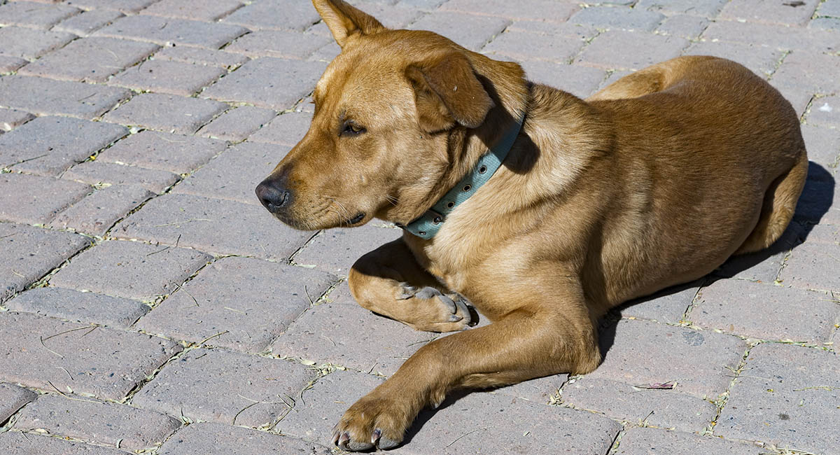 Mixed-breed dog lying on cobblestones in the summer